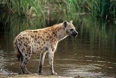 Hyena - Sabi Sabi South Africa