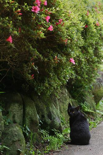 cloudy yokohama: azalea cat