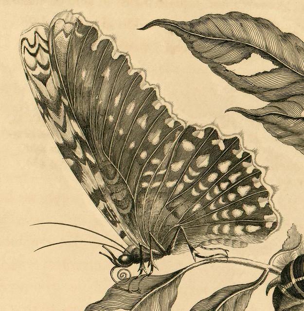 Surinam - moth