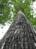 97.05.22平和國小吉貝木棉老樹DSCN0638