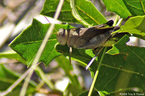 Grasshopper_HickeyCreek_1