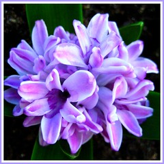 Hyacinth Bouquet (-caz-) Tags: flowers plant flower green nature bulb leaf flora pretty purple natural lilac bouquet hyacinth flowercloseup fff macroflowers macroflower wonderfulworldofflowers freeflickrflowers awesomeblossoms