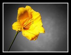 """Beauty"" (tonyj19) Tags: bw flower beauty yellow cutout petals stem skies missouri hannibal selectivecolor tonyj"