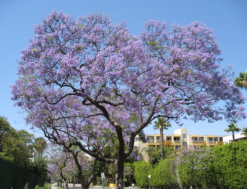 Jacaranda tree california photo