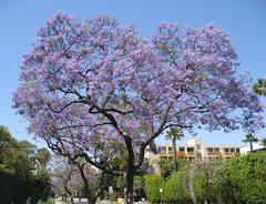 California - Jacaranda Tree (jared422_80) Tags: california ca flowers tree june la losangeles los purple angeles southern socal cal jacaranda 2008 jacarandatree