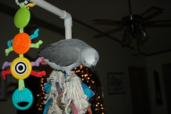 Hey, down there! (greytvet02) Tags: holiday parrot jinx