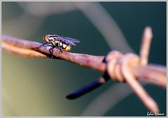 Mosca com dof (eduhhz) Tags: cy mosca arame farpado pfo challengeyouwinner duetos photofaceoffwinner pfogold a577