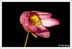 #175/08  A Symbol of Love (Ibnu Yusuf) Tags: pink flowers blue fab pond lotus malaysia a200 selangor shahalam waterflower tropicalflowers naturesfinest artisticexpression sacredlotus nelumbonucifera sonydslr mywinners abigfave asiseeit ibnuyusuf naturewatcher mysonia