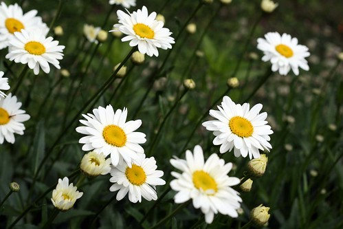 I'm a sucker for daisies