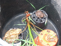 frogs & toad (suziesue_00) Tags: frog toad flowerpot
