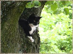 cat in tree (Dutch Simba) Tags: cat noor