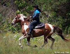 Gipsy_7066 (myhorse) Tags: horse mare tina gypsy rider canter pinto gallop tobiano spottedsaddlehorse