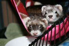 my ferrets - jinx (bottom) and zoie (lil black nose)