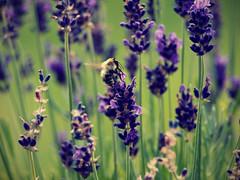 (Georgie.H) Tags: bokeh crossprocess lavender bee levels olympuse410 georgieh georgieehudson