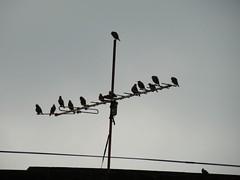 Sundown conference (asis k. chatt) Tags: birds silhouette royal zen fabulous elegance naturephotography naturalharmony naturalsilhouette naturewatcher excapture slbroosting