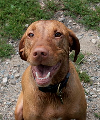(Boston_Exposures) Tags: woofy summer dog pointer sunday july vizsla 2008 dogg osker diggitydog huntingdog hungarianpointer jul08 diggitydawg oshka 27july2008