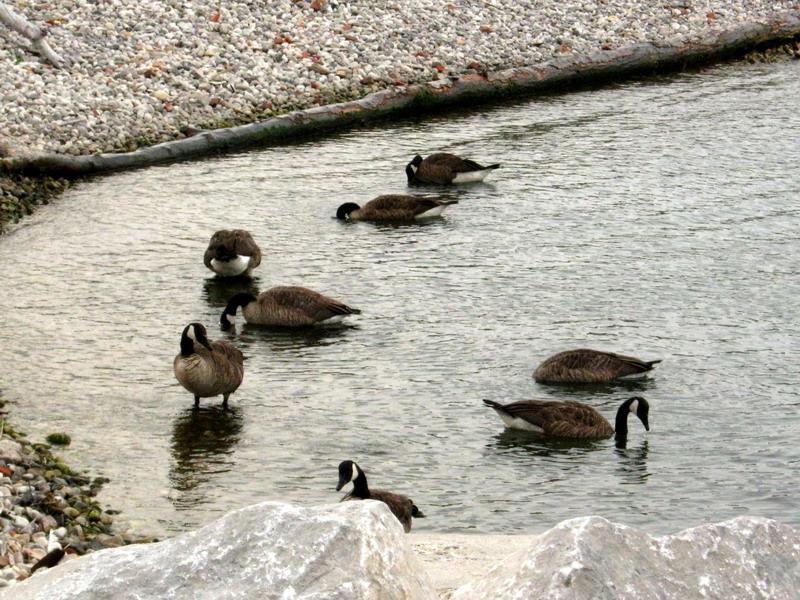 Flock of loonies