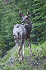 mule deer (rogersmithpix) Tags: jasper wildlife deers canadianrockies miettehotsprings canadianwildlife sonydslra700 canadawildlife canadaalaskacanadaalaska