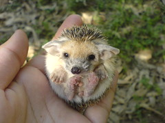 Baby Hedg (BlueLunarRose) Tags: cute nature animal hedgehog lovepeace cuteanimal naturesfinest hedg