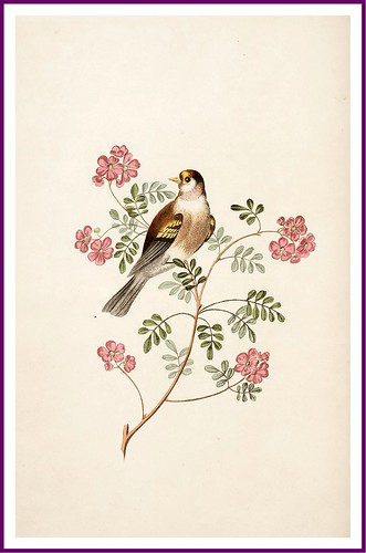 0013-The goldfinch