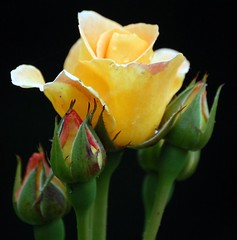 yellow rose (coral.hen4800) Tags: flowers red sea love rose yellow garden gull sos wilflife gife golddragon mywinners platinumphoto diamondclassphotographer fickrdiamond diamondclassphotorapher theunforgettablepictures colourartaward goldstaraward excellentsflowers natureselegantshots wonderfulworldofflowers mimamorflowers oltusfotos flickrflorescloseupmacros panoramafotogrfico panoramafotografico |natureselegantshots