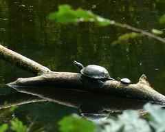 Synchronized turtling