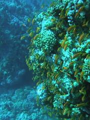 Pared de coral cubierta de Pseudanthias squamipinnis (copepodo) Tags: coral fauna redsea diving jordan reef aqaba buceo jordania arrecife submarinismo marrojo pseudanthias squamipinnis