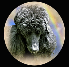 A rainbow on your shoulder...... (ebonique2007) Tags: fab dog black photoshop blackdog poodle sensational pictureperfect standardpoodle cubism blueribbonwinner ebbie passionphotography platinumphoto impressedbeauty isawyoufirst diamondclassphotographer everydayissunday awesomepictureaward goldsealofqualityaward damniwishidtakenthat goldenaardvarkaward