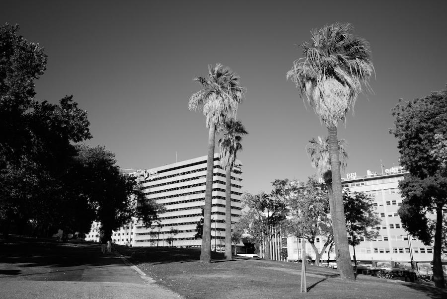 Palmeiras no Parque Eduardo VII