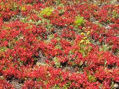 September Red