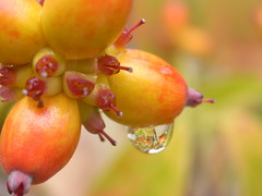 "After a rain (""KIUKO"") Tags: autumn tree fall waterdrop seed drop dogwood"