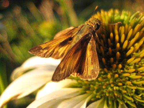 coneflower with moth