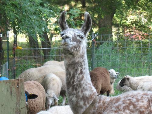 Freckles the Llama