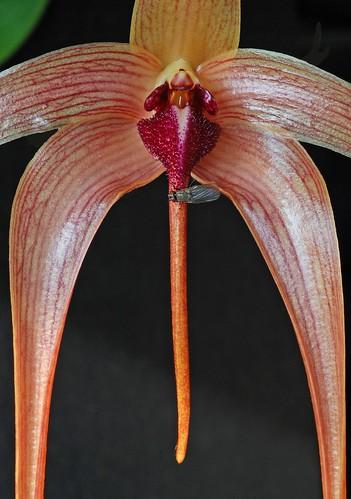 Bulb.echiolabium