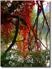 red autumn (eTirana) Tags: autumn red italy plant wet water river torino italia lumi turin p vjeshte pem lungop