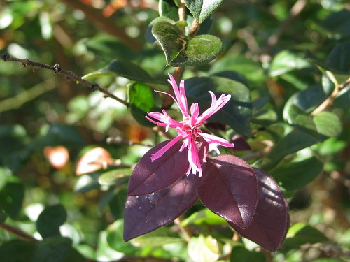 Loropetalum rebloom