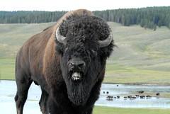 American Bison (Bison bison) in Rut DDZ_0052 (NDomer73) Tags: august 2008 13august2008 bison americanbison mammal yellowstone yellowstonenationalpark
