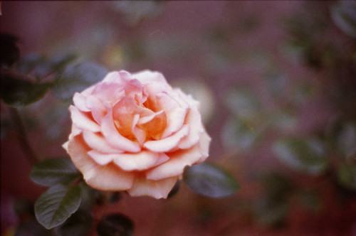 Autumn Rose 2008