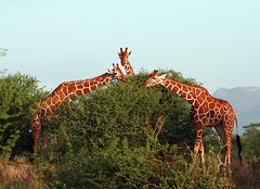 Reticulated Giraffes (Giraffa camelopardalis reticulata) in Samburu National Reserve (Saran Vaid) Tags: africa wild nature beautiful beauty animal kenya wildlife sigma safari giraffes giraffe elegant creature samburu animalplanet spotting animalkingdom giraffa bornfree sighting kenyasafari reticulated reticulatedgiraffe samburunationalpark camelopardalis reticulata samburunationalreserve giraffacamelopardalisreticulata canoneos400d somaligiraffe sigma170500mm ourplanet livingfree sigma170500mmf563dgapo