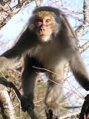 塔塔加的野生獼猴 (Abby Yin) Tags: olympusc770