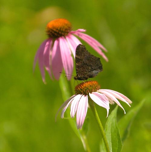 Butterfly in Kiev
