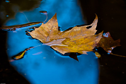 Leaf In A Puddle