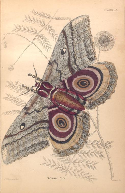 Saturnia Isis.  (1843)
