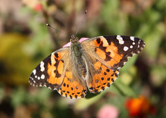 PaintedLady (5) (aspen39) Tags: butterfly insect migration paintedlady