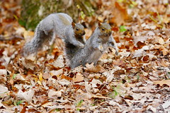 A squirrel story... (perfectday_s) Tags: nature animal rodent fight squirrel explore story histoire bataille cureuil naturesfinest rongeur supershot amazingshot agrade bej mywinners abigfave impressedbeauty aplusphoto flickrenvy diamondaward goldstaraward newenvyofflickr newenvy