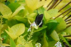 Spot the butterfly in Sabtang island (MeloVillareal) Tags: island batanes sabtang