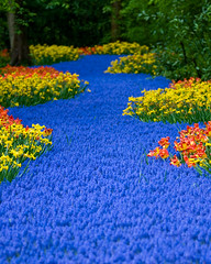 Blue Carpet 3 (Philipp Klinger Photography) Tags: blue red flower holland color green netherlands yellow carpet colorful daffodil phil