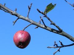 Herbst (pixelpictor) Tags: blue red rot rouge deutschland herbst blau farbe apfel farben hotzenwald südschwarzwald blaublue