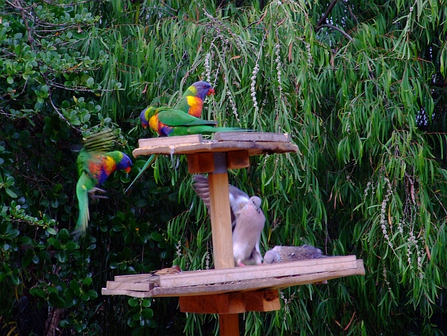 three lorikeets two pigeons one sparrow