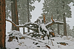 Tree Root Cattle Skull (Bob Palin) Tags: winter 15fav usa snow cold utah hike bouldermountain club100 100vistas instantfave weatherphotography ut12 orig:file=2008112712662 nopin